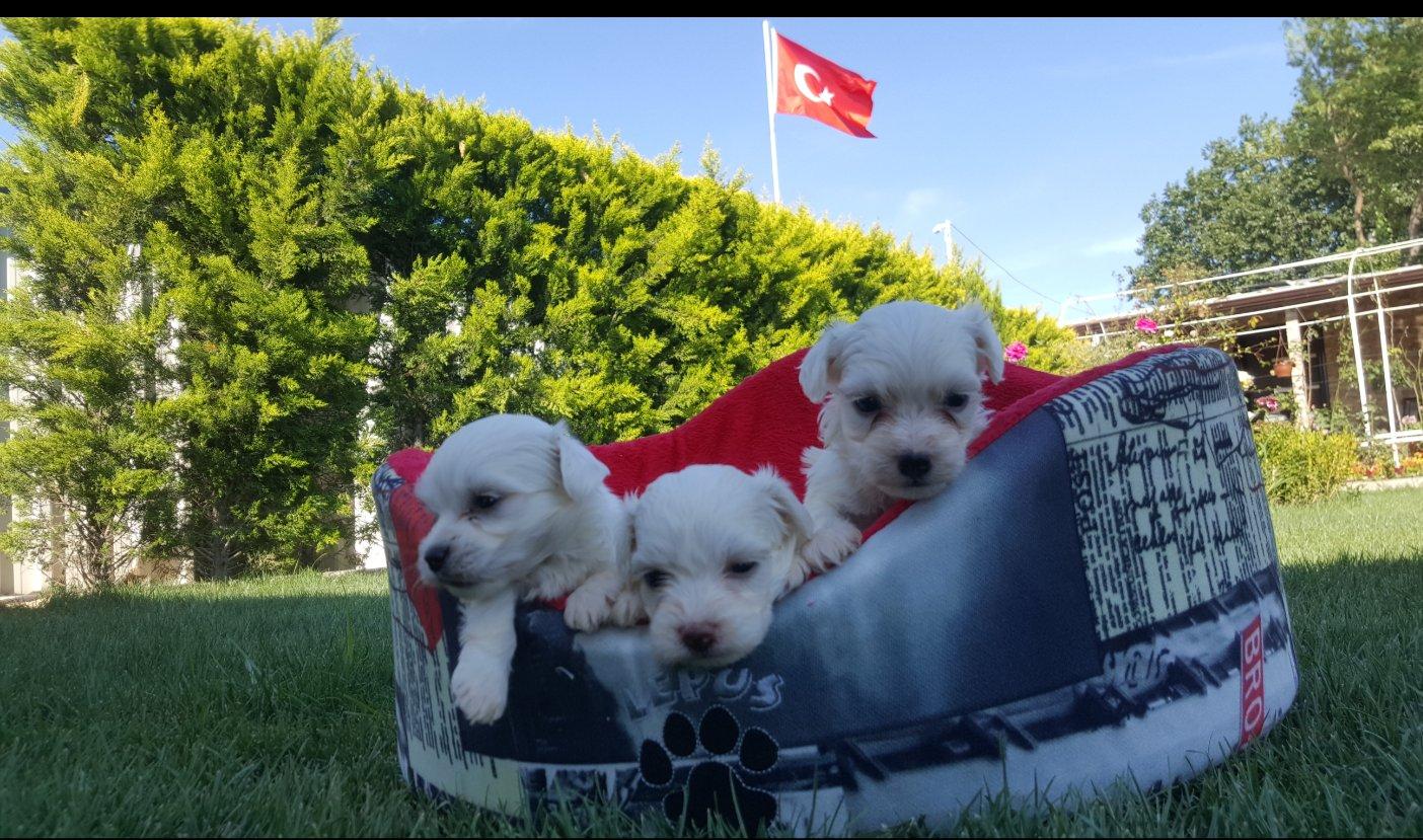 Maltese Terrier 3