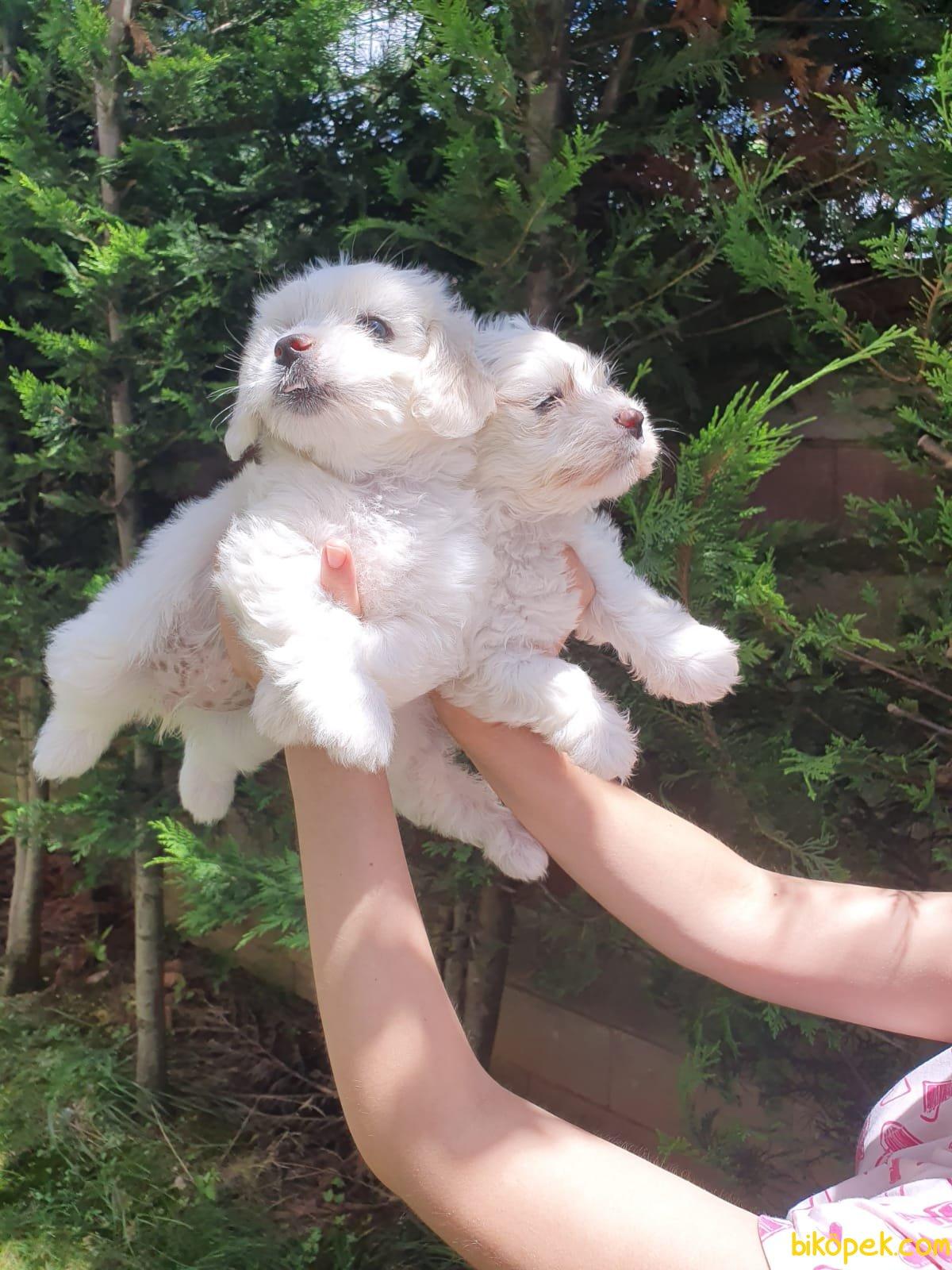 Maltese Terrier Bebekler 3