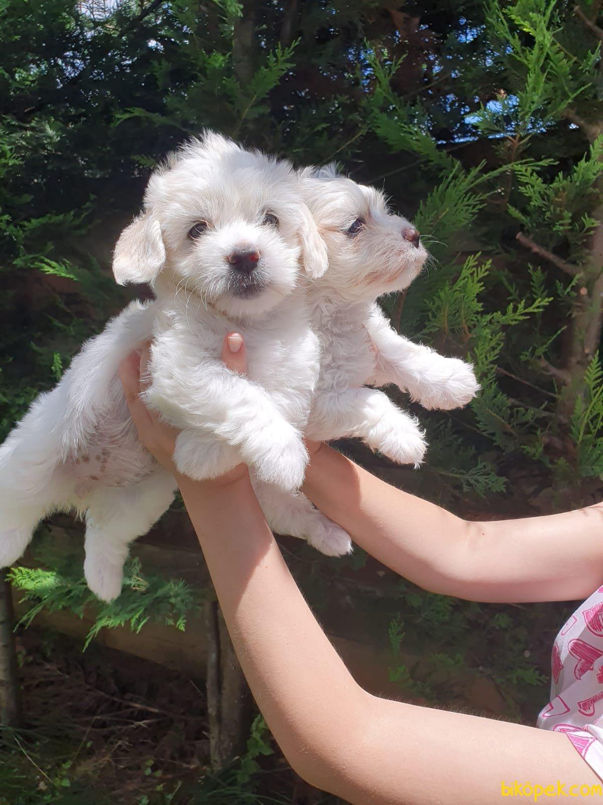 Maltese Terrier Bebekler 2