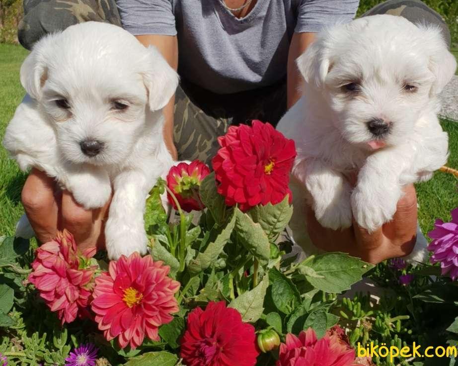 Maltese Terrier Çok Sevimli Yavrularım 3