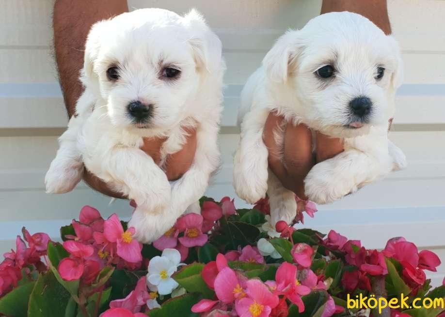 Maltese Terrier Çok Sevimli Yavrularım 1