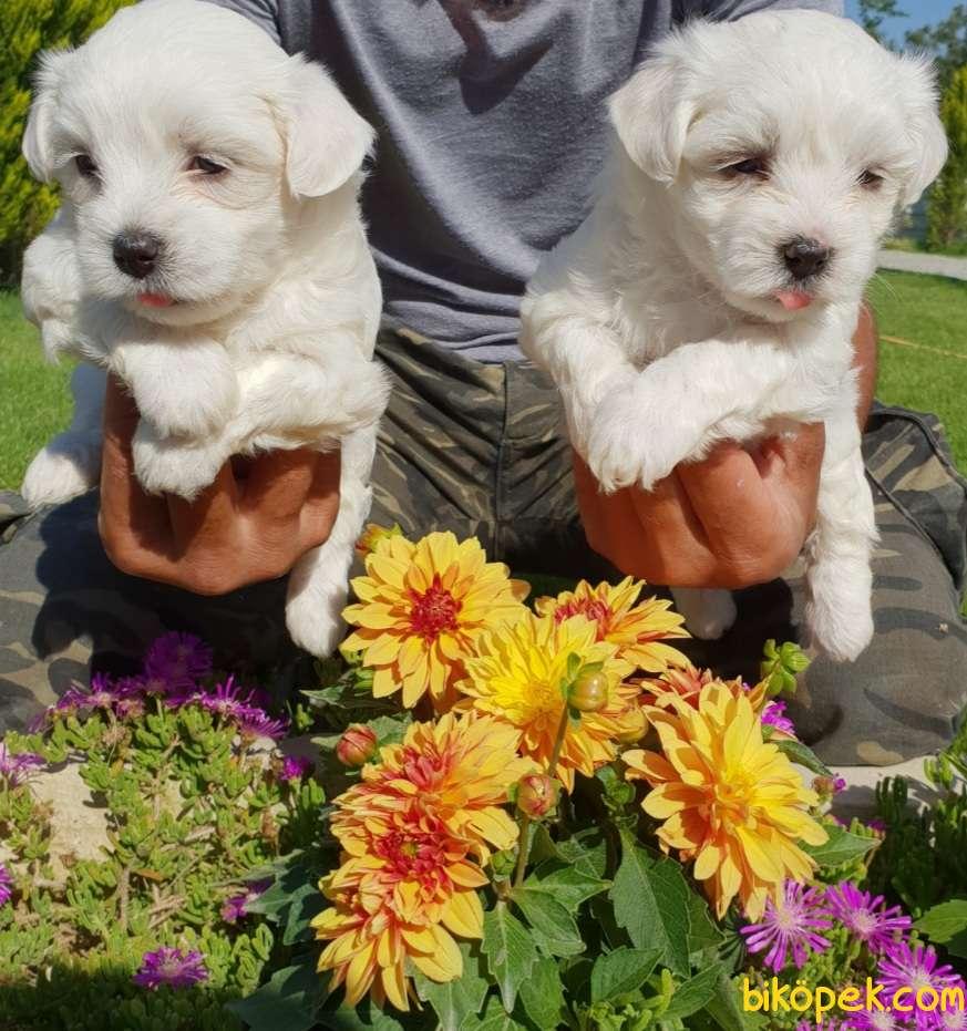 Maltese Terrier Çok Sevimli Yavrularım 5