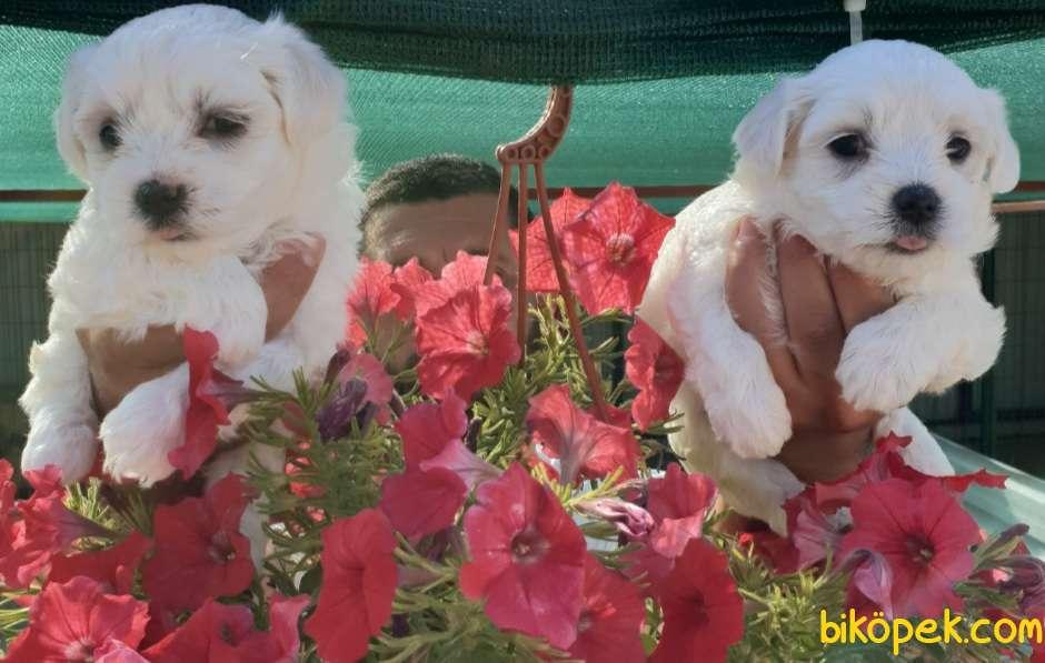 Maltese Terrier Çok Sevimli Yavrularım 4