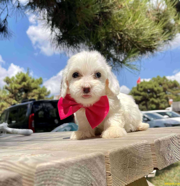 Maltese Terrier Mini Kar Beyaz Yavrular 3