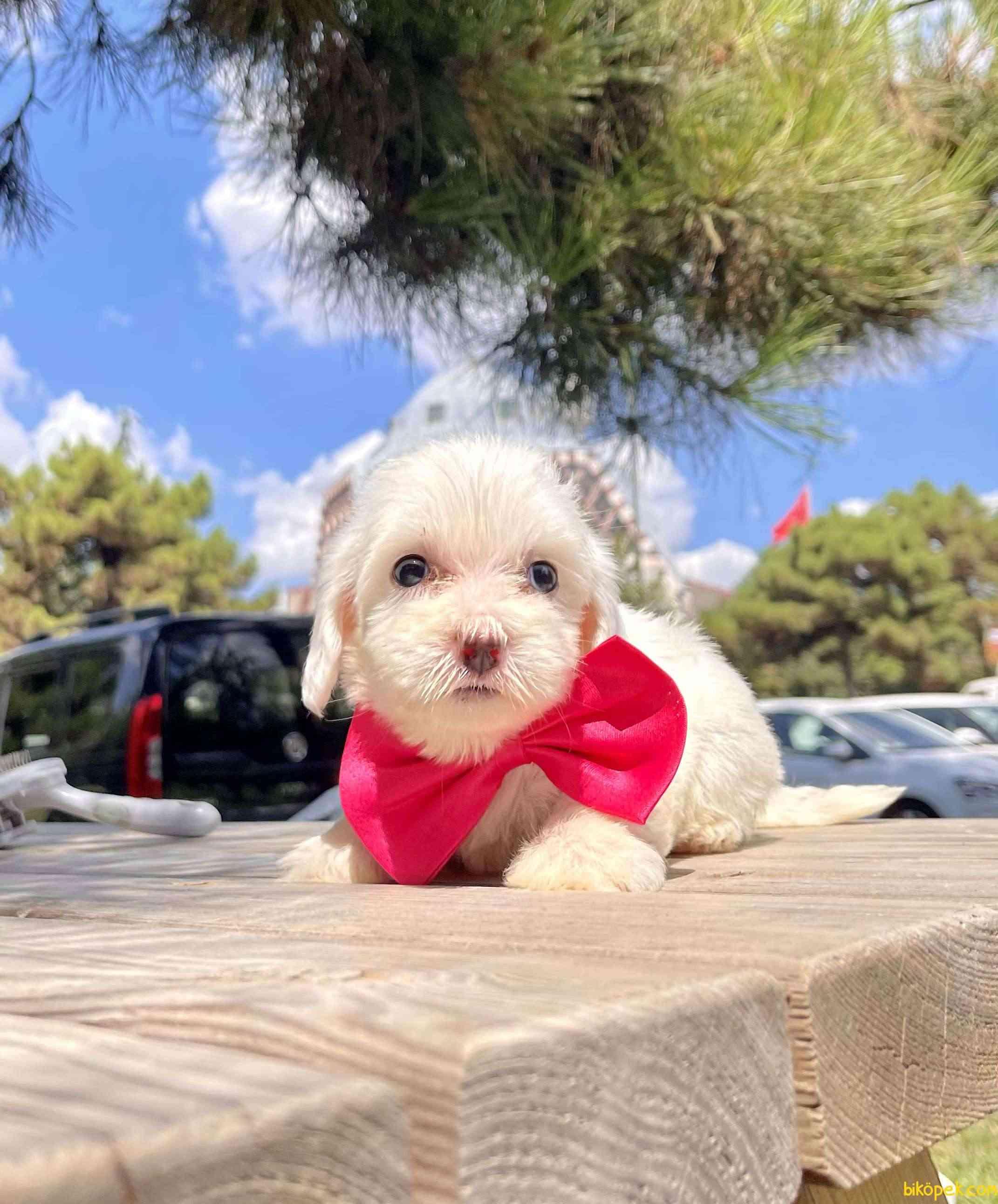 Maltese Terrier Mini Kar Beyaz Yavrular 2