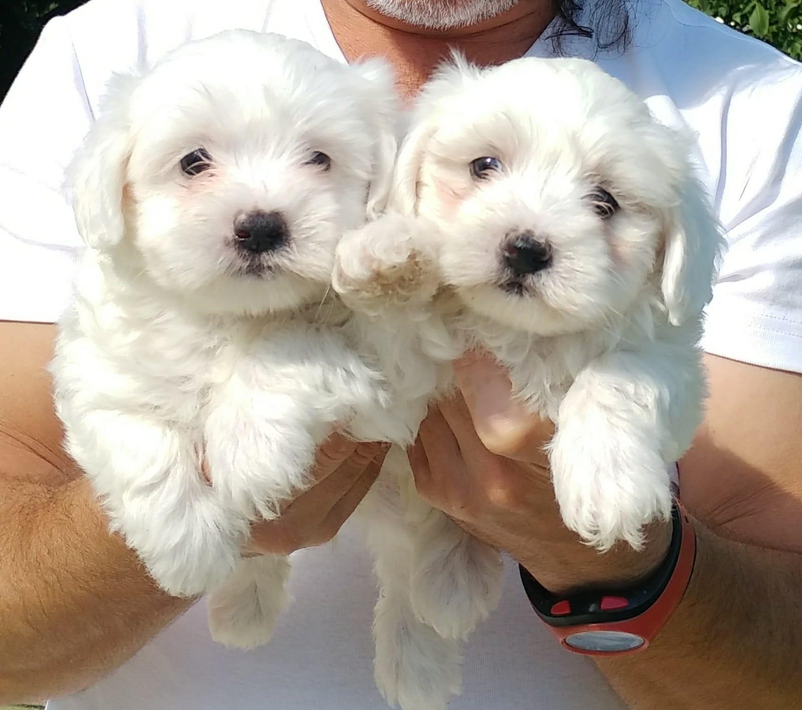 Maltese Terrier Yavrularımız Mükemmeli Arayanlara 2