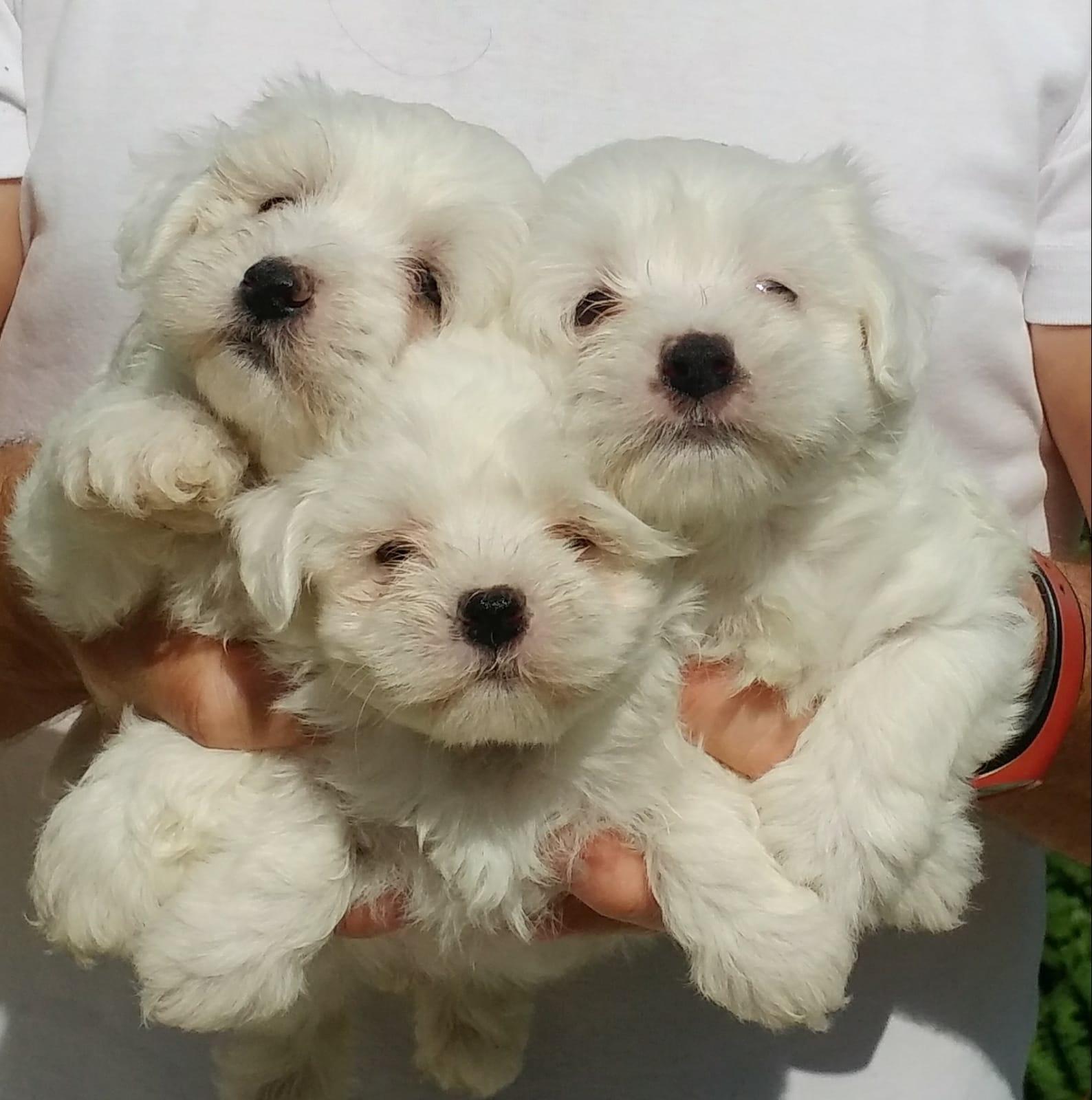 Maltese Terrier Yavrularımız Mükemmeli Arayanlara 1