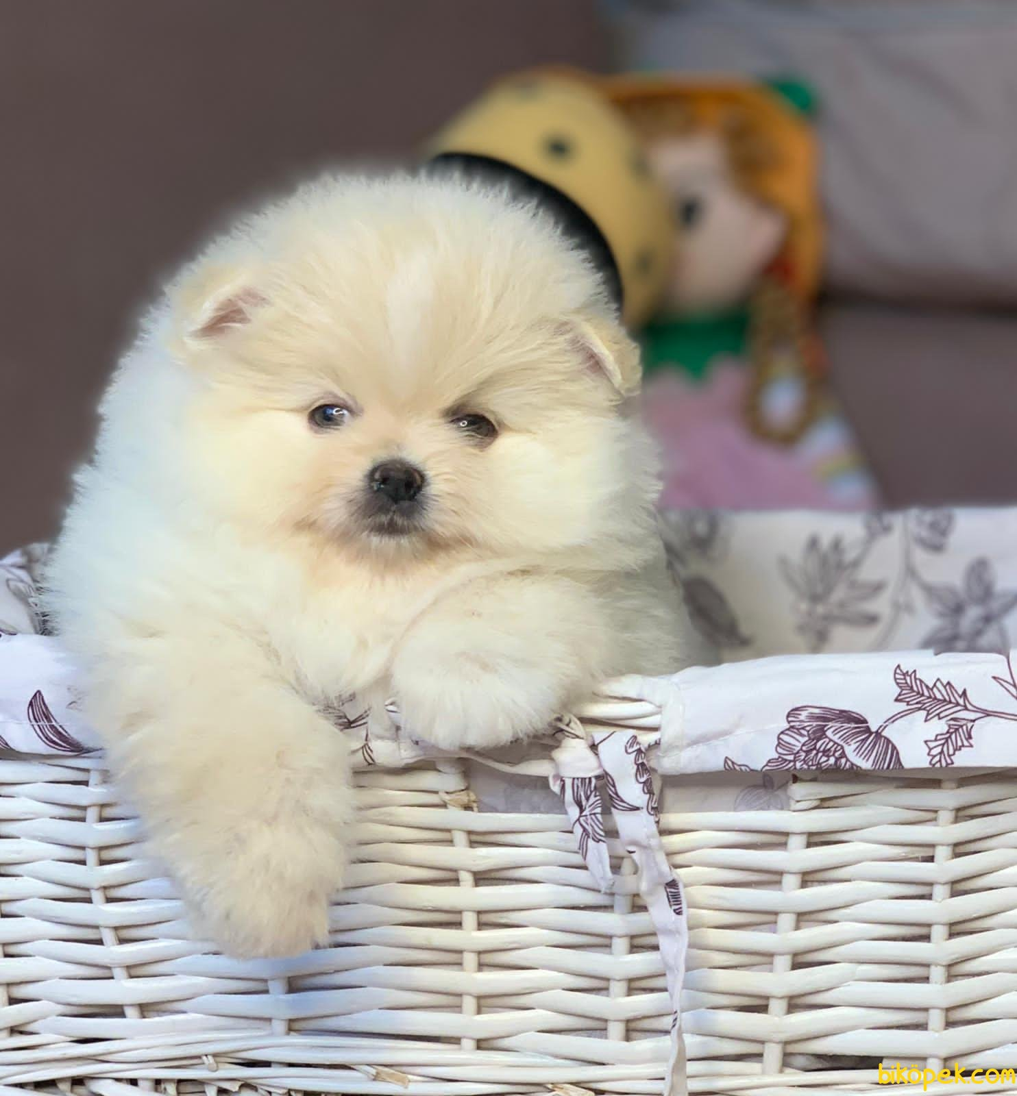 Mini Boy Boo Pomeranian Yavrular 1