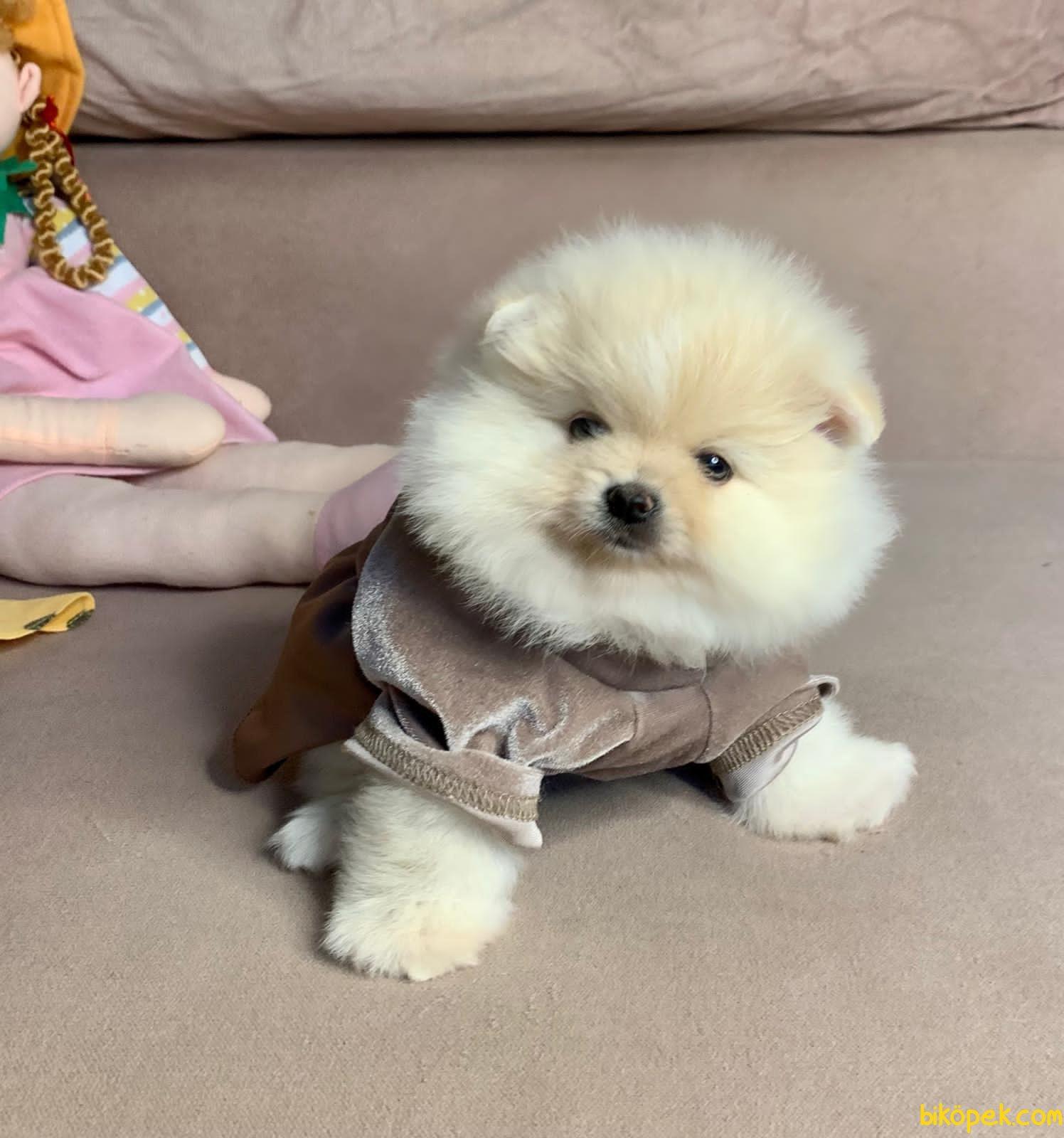 Mini Boy Boo Pomeranian Yavrular 2