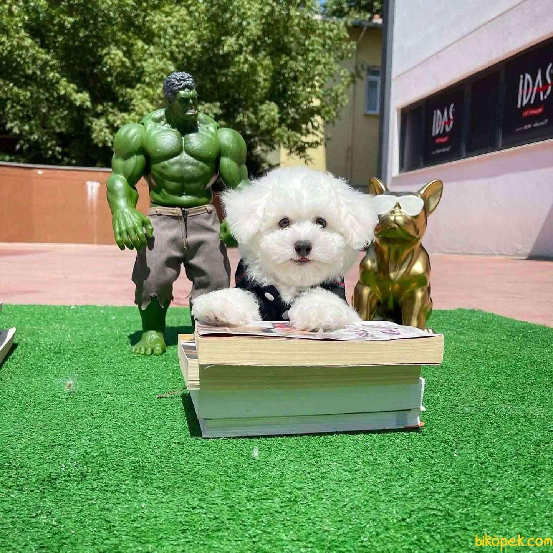 Mini Boy Safkan Belgeli Maltese Terrier Yavrumuz 4