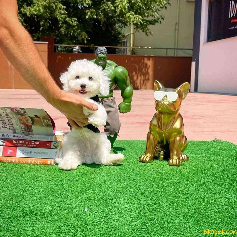 Mini Boy Safkan Belgeli Maltese Terrier Yavrumuz 1