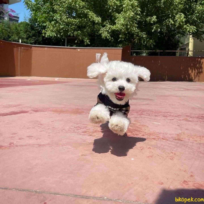 Mini Boy Safkan Belgeli Maltese Terrier Yavrumuz 3