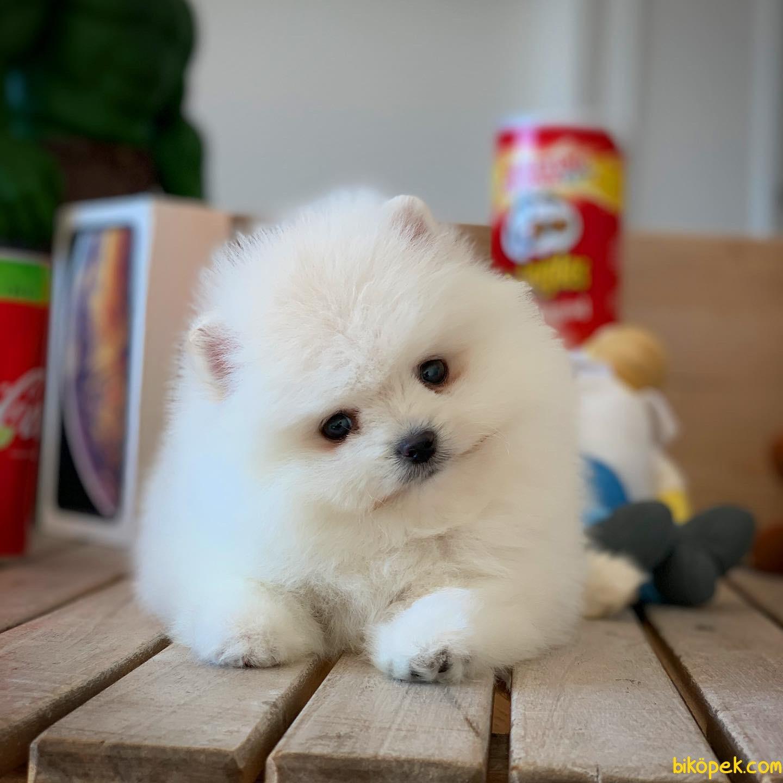 Miniboy Pomeranian Boo Yavrumuz 2