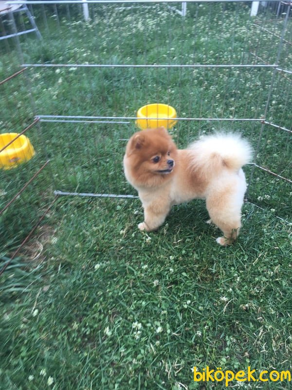 Minik Pati Pomeranian Yavrular 1