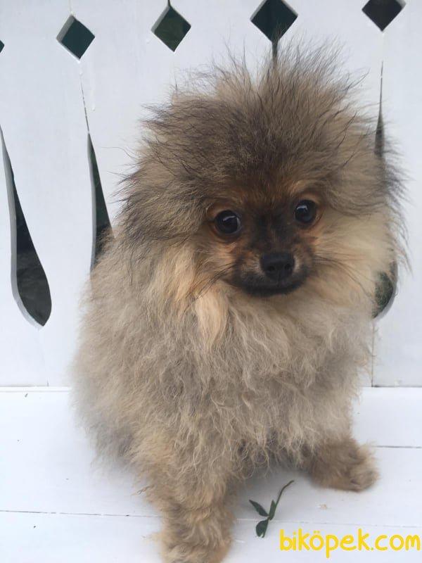 Minik Pati Pomeranian Yavrular 3