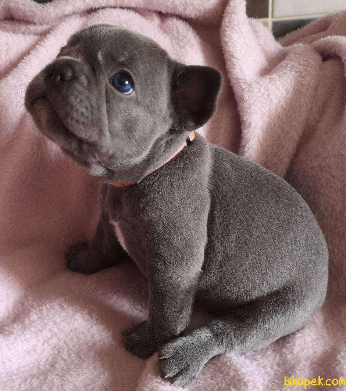 MÜKEMMEL French Bulldog Blue  Yavruları 2