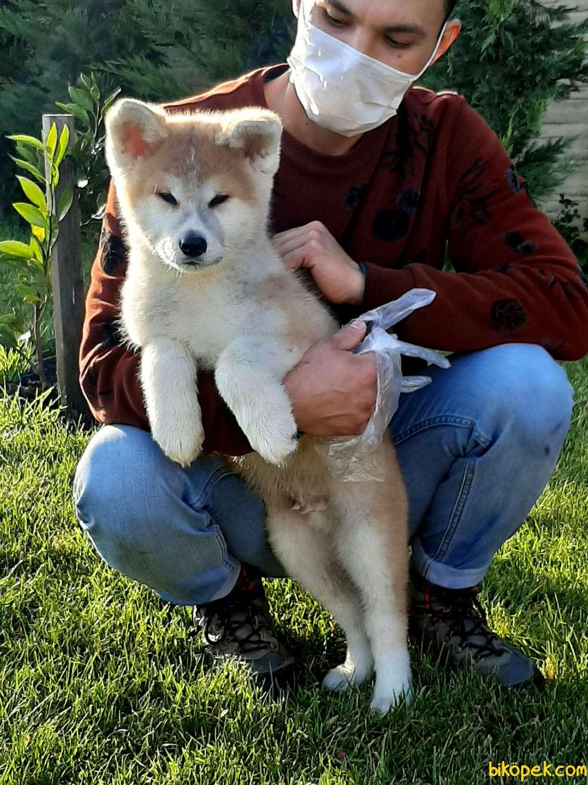 SAFKAN SATILIK  Japon Akita İnu Yavrularimiz ( Hachiko ) 3