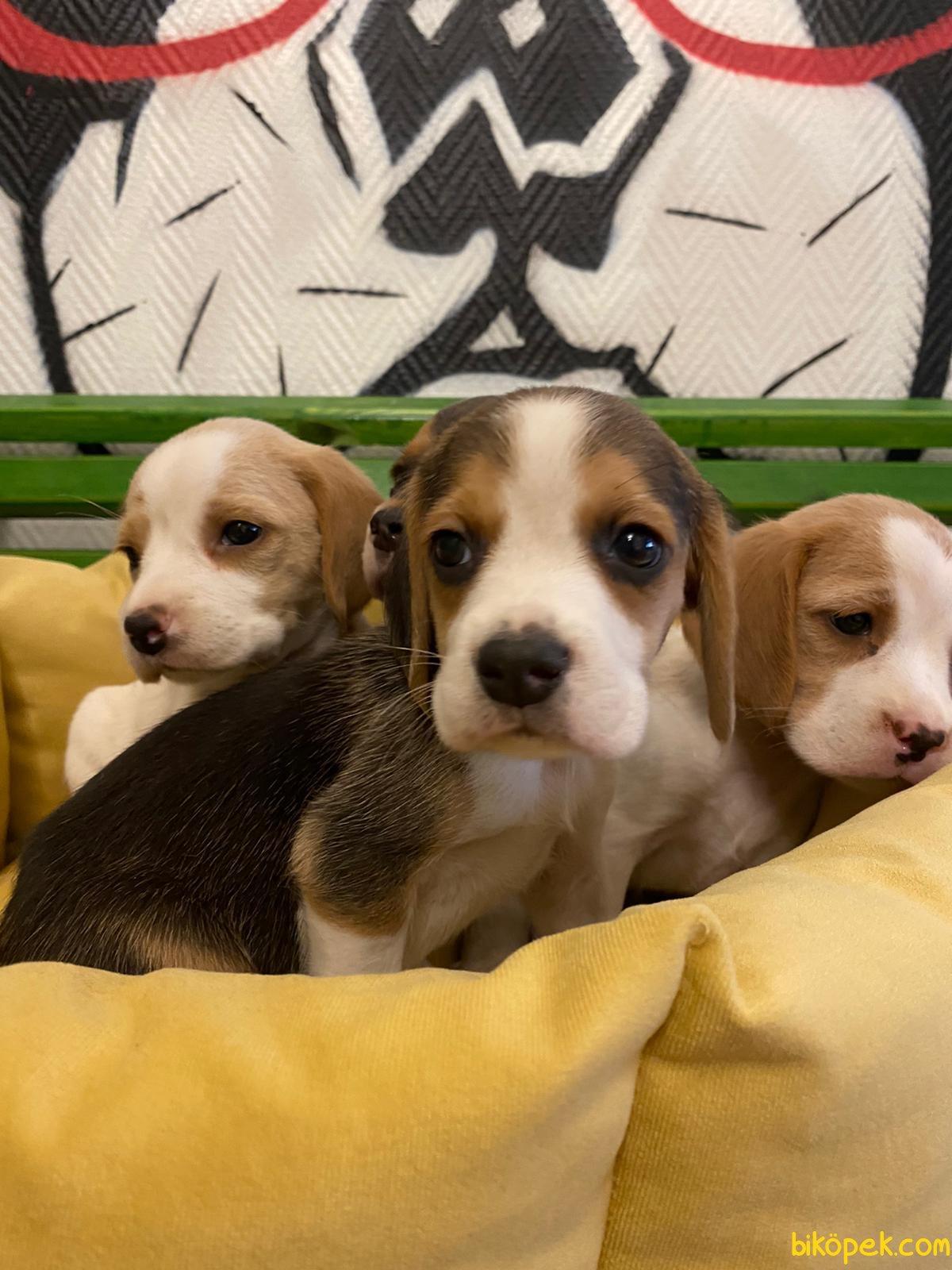 Orijinal Irk Garantili Beagle Yavrular 3