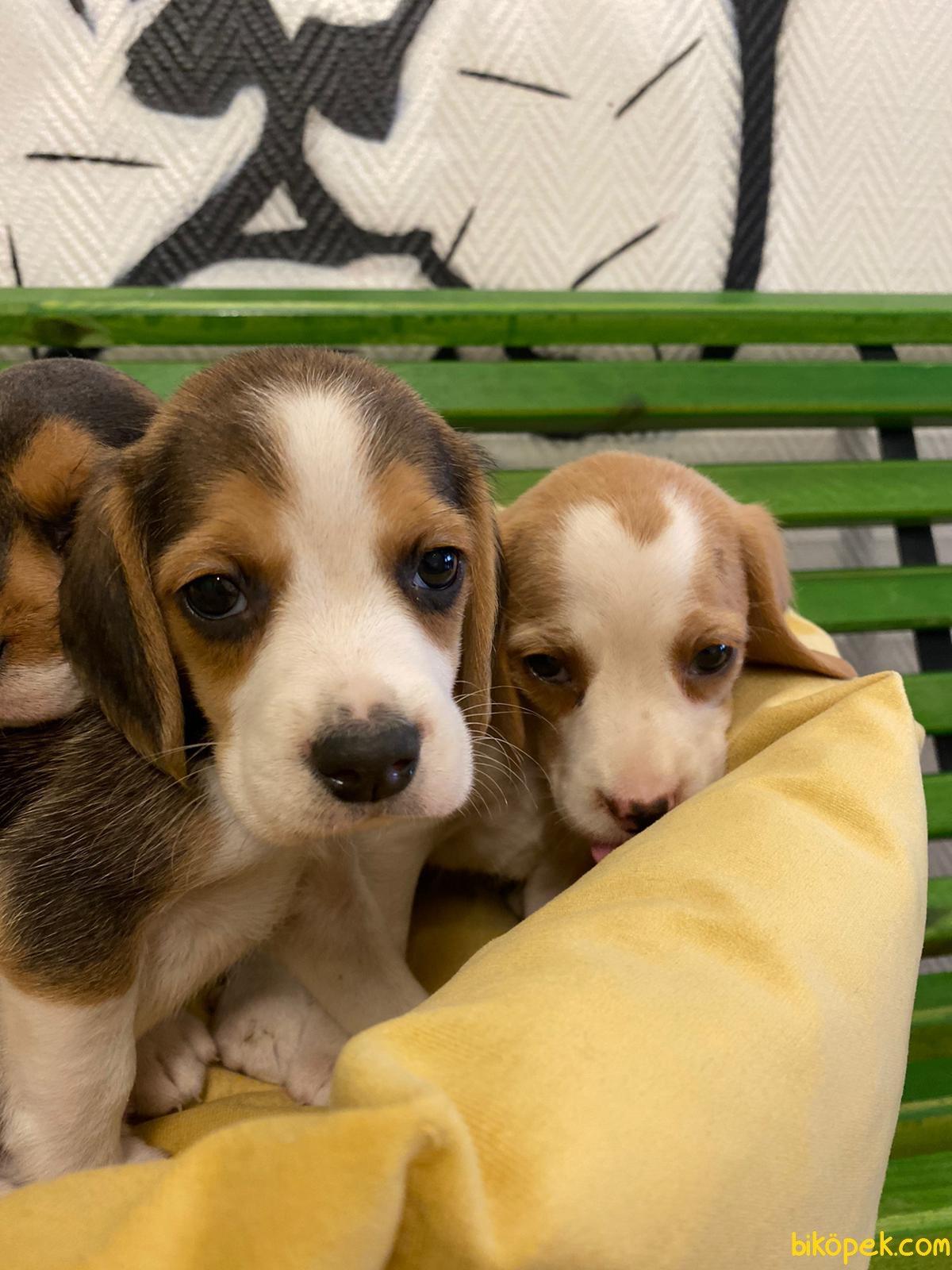 Orijinal Irk Garantili Beagle Yavrular 1