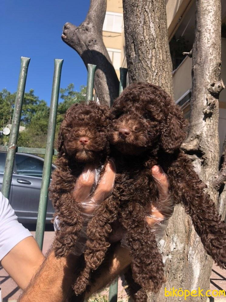 Orijinal Irk Garantili Toy Poodle Yavrular 1