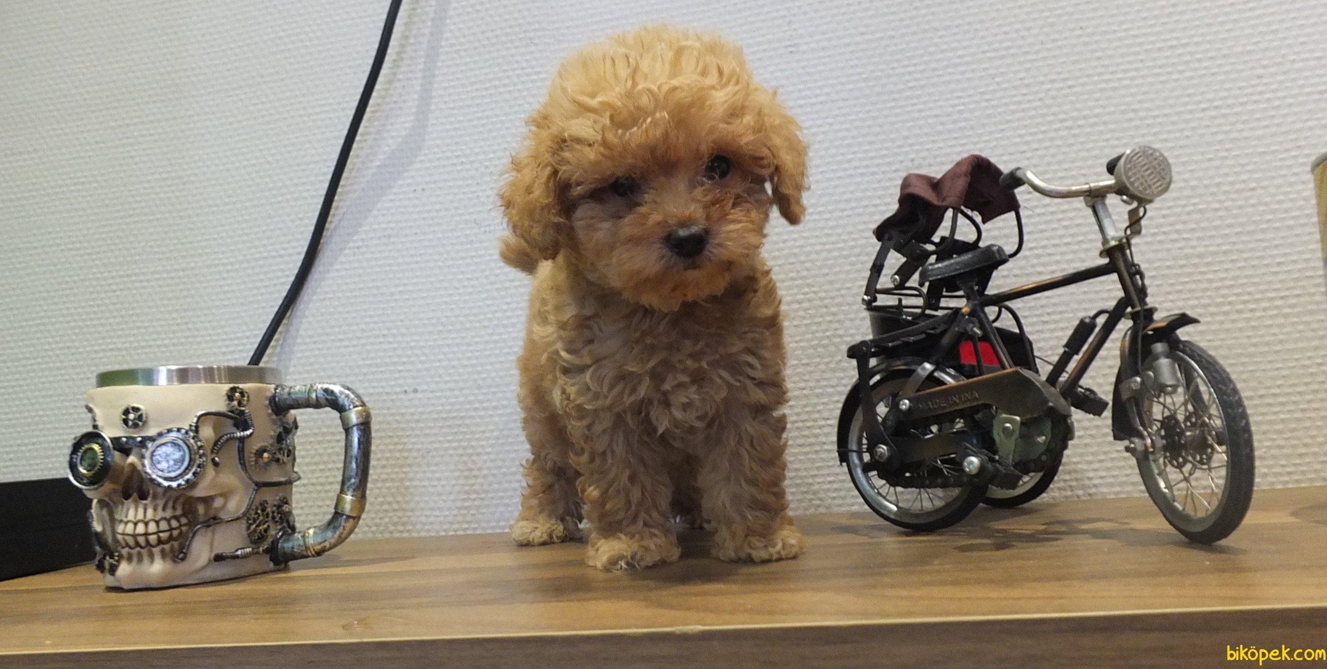 Orijinal Irk Garantili Toy Poodle Yavrular 3