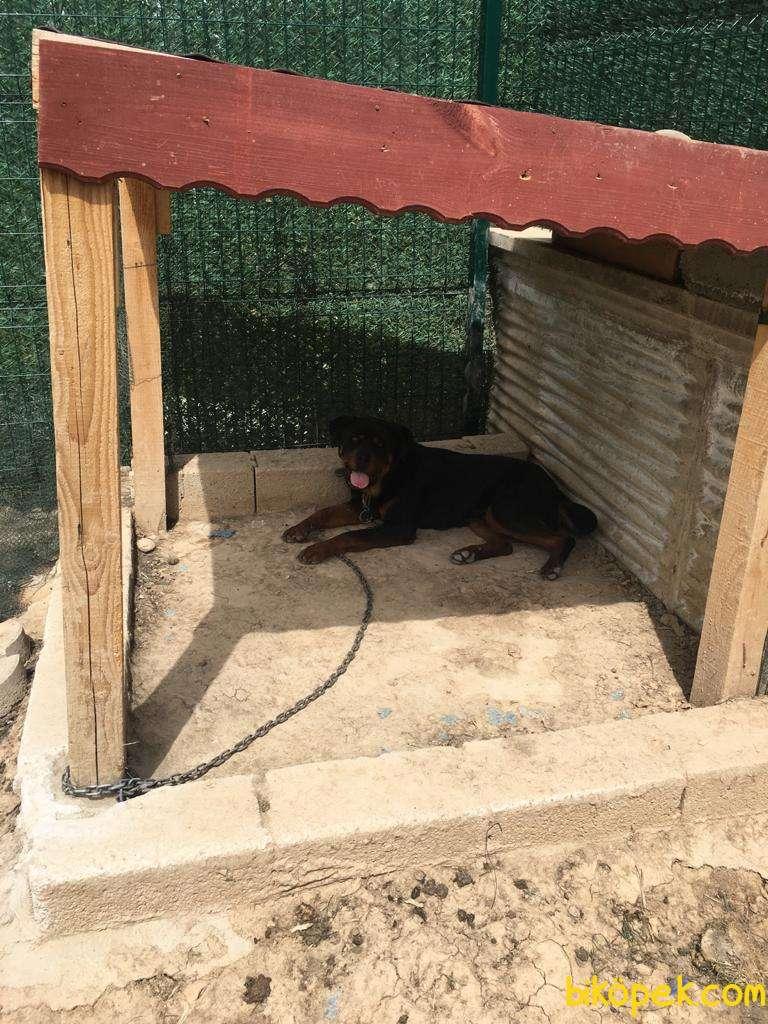Orijinal Macar Rottweiler 9 Aylık Aşı Karnesi Tam 1