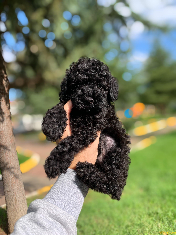 Orjinal Black Toy Poodle Yavrularimiz 1