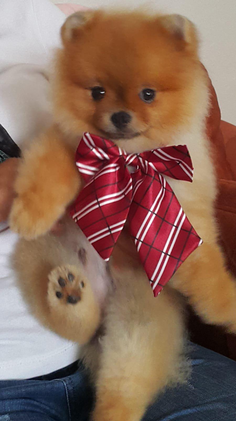 Orjinal Pomeranian 3