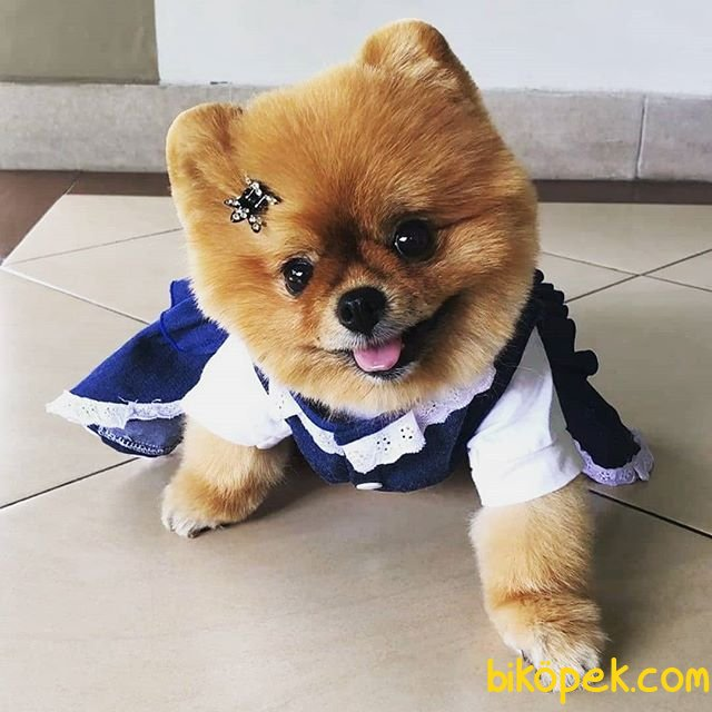 Orjinal Pomeranian 2
