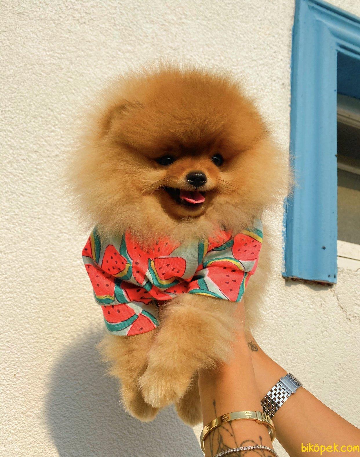 Orjinal Teddy Bear Pomeranian Boo Irk Belgeli 4