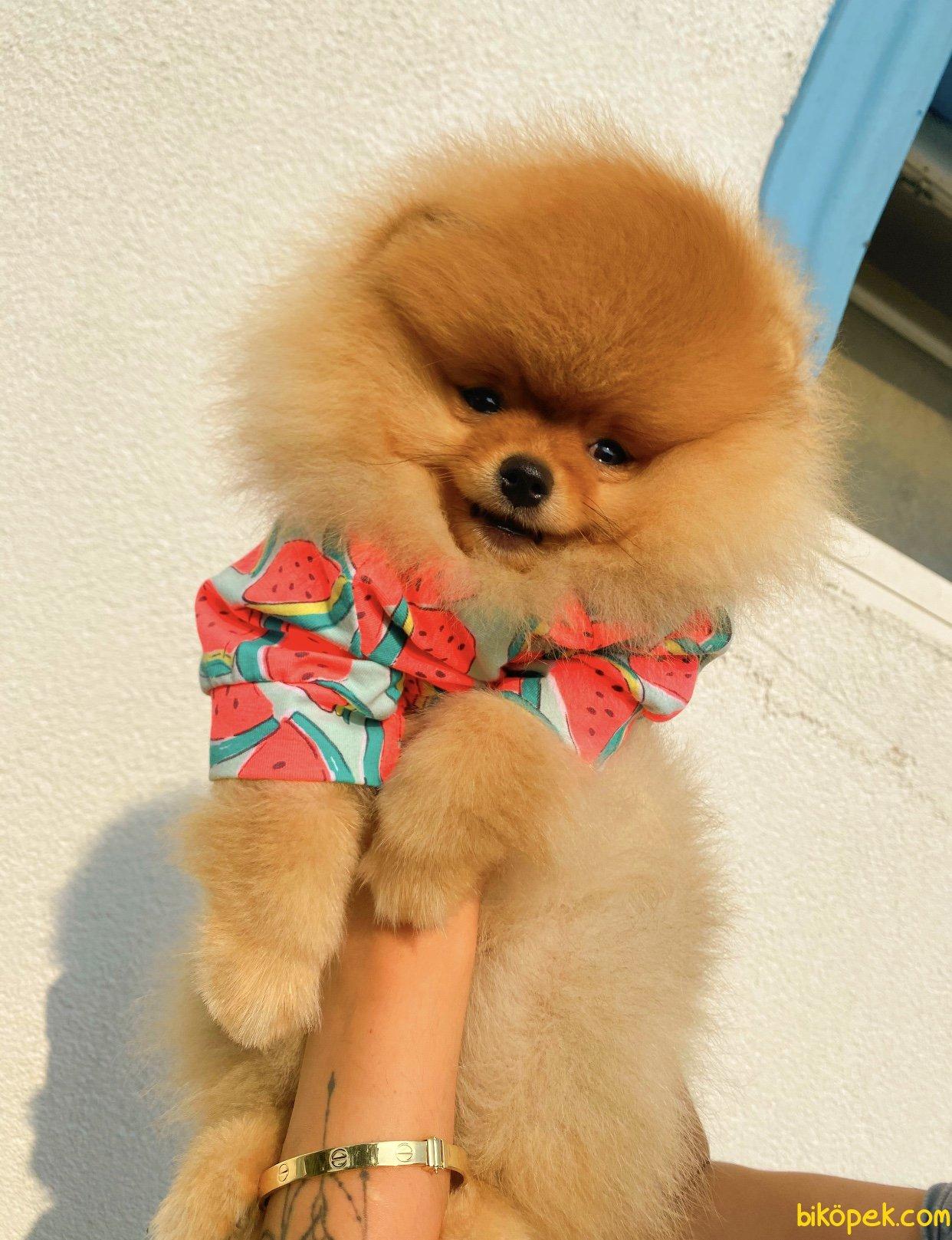 Orjinal Teddy Bear Pomeranian Boo Irk Belgeli 3