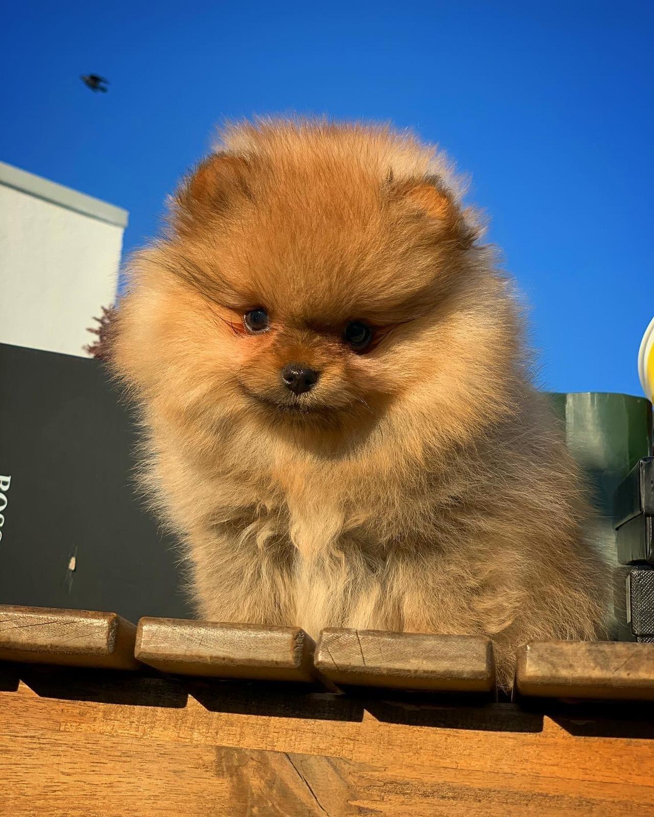 Orjinal  Teddybear Yüz Yapısına Sahip PomeranianBoo 2