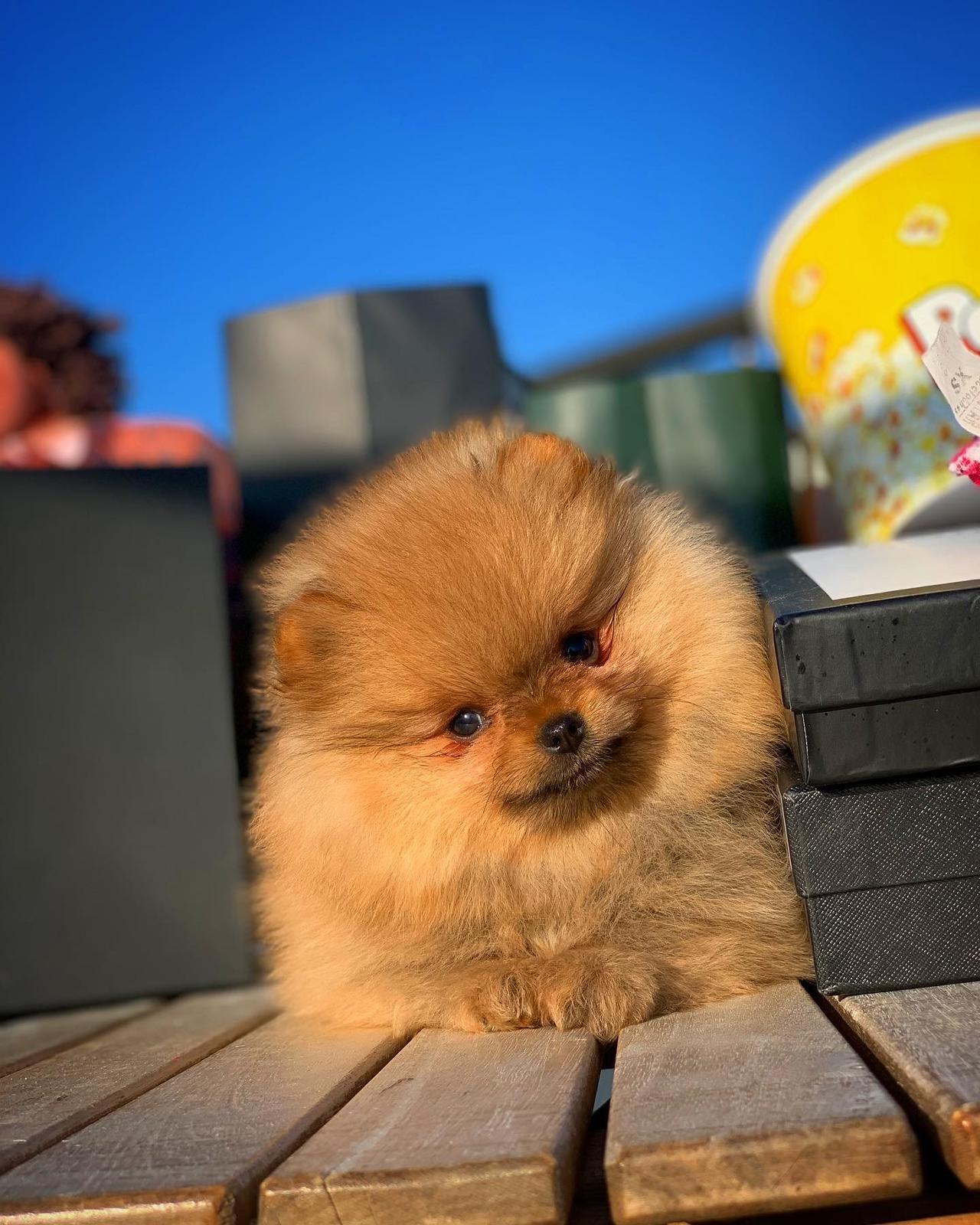 Orjinal  Teddybear Yüz Yapısına Sahip PomeranianBoo 3