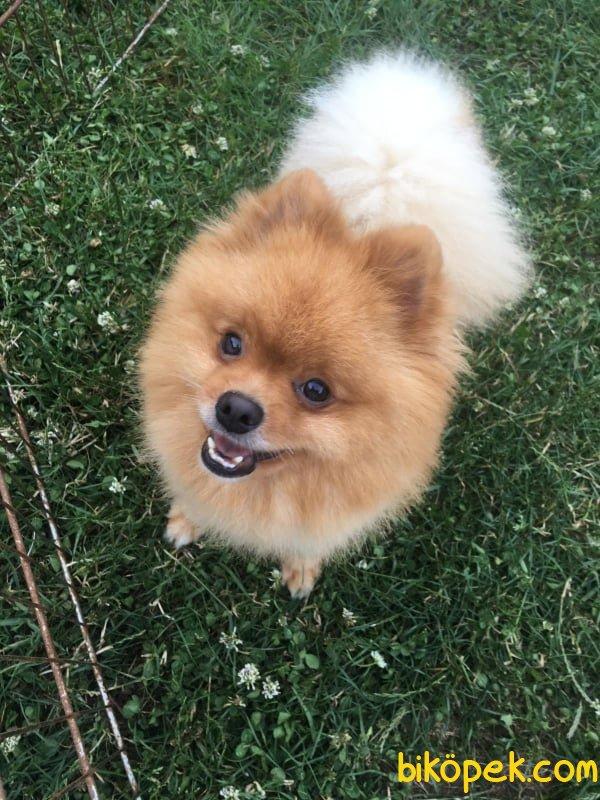 Orjinal Tedy Bear Boo Pomeranian Yavrular 2