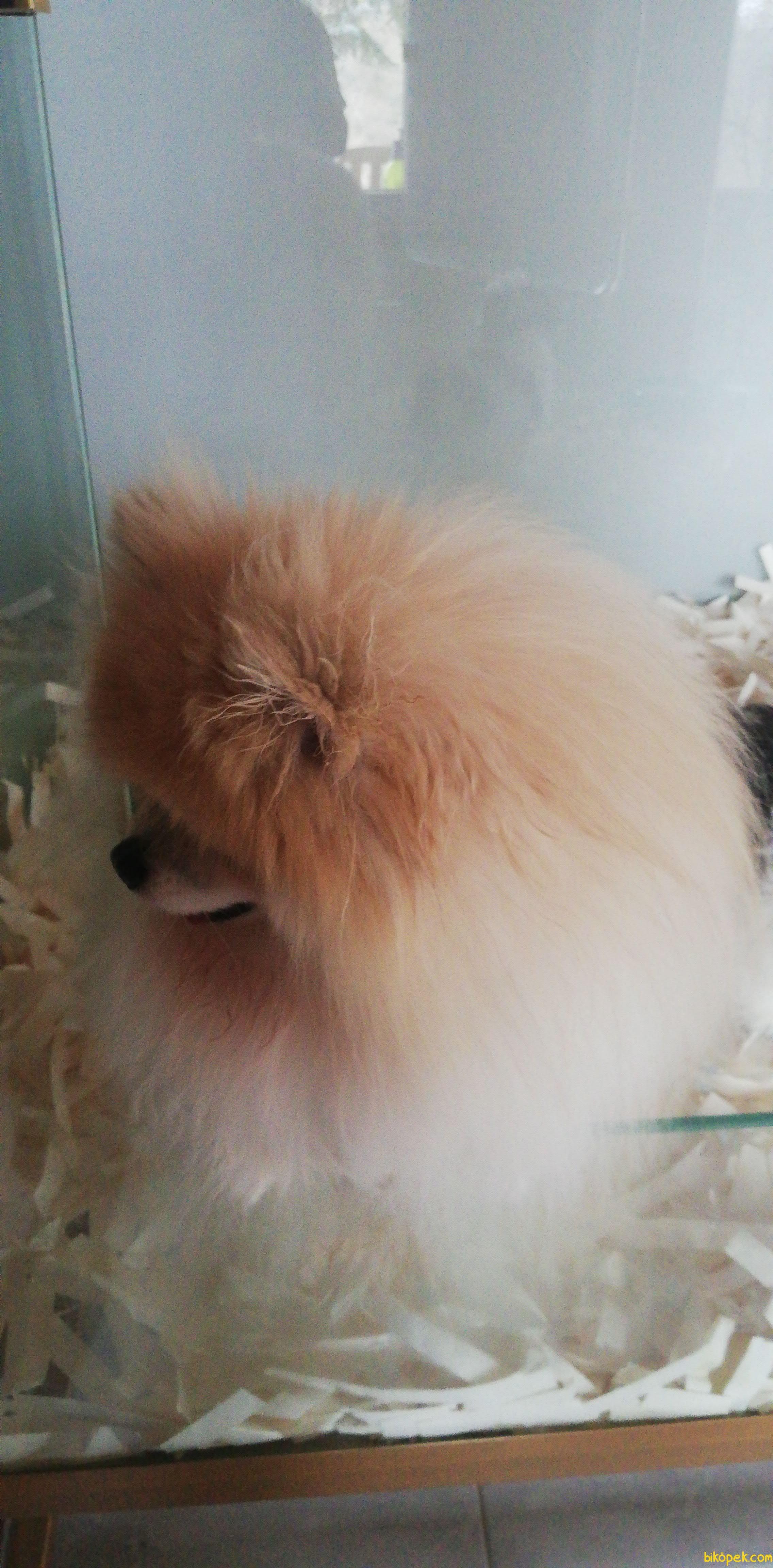 Orjinal Tedy Bear Boo Pomeranian Yavrular 3