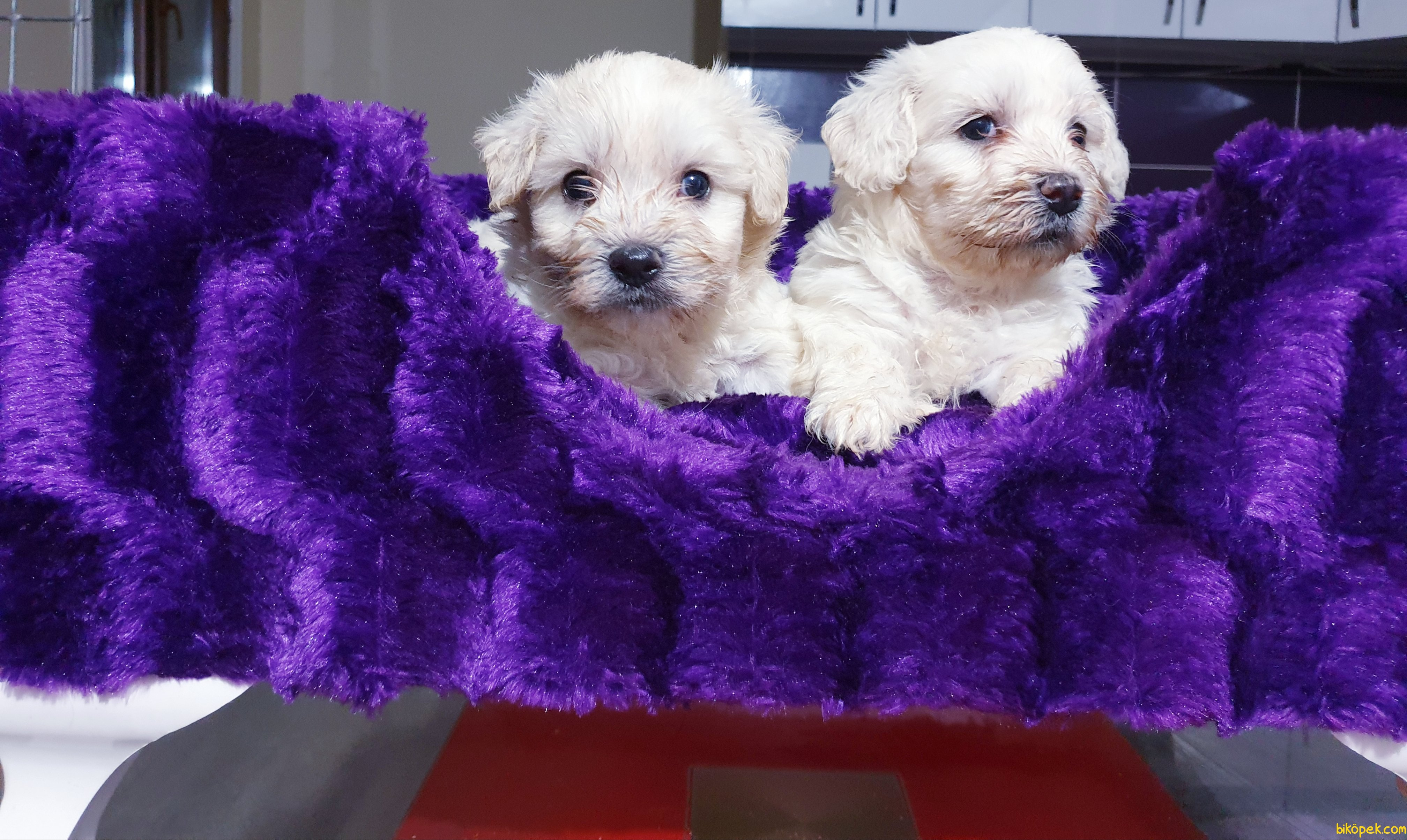 Satılık Maltese Terrier Yavrularımız 1