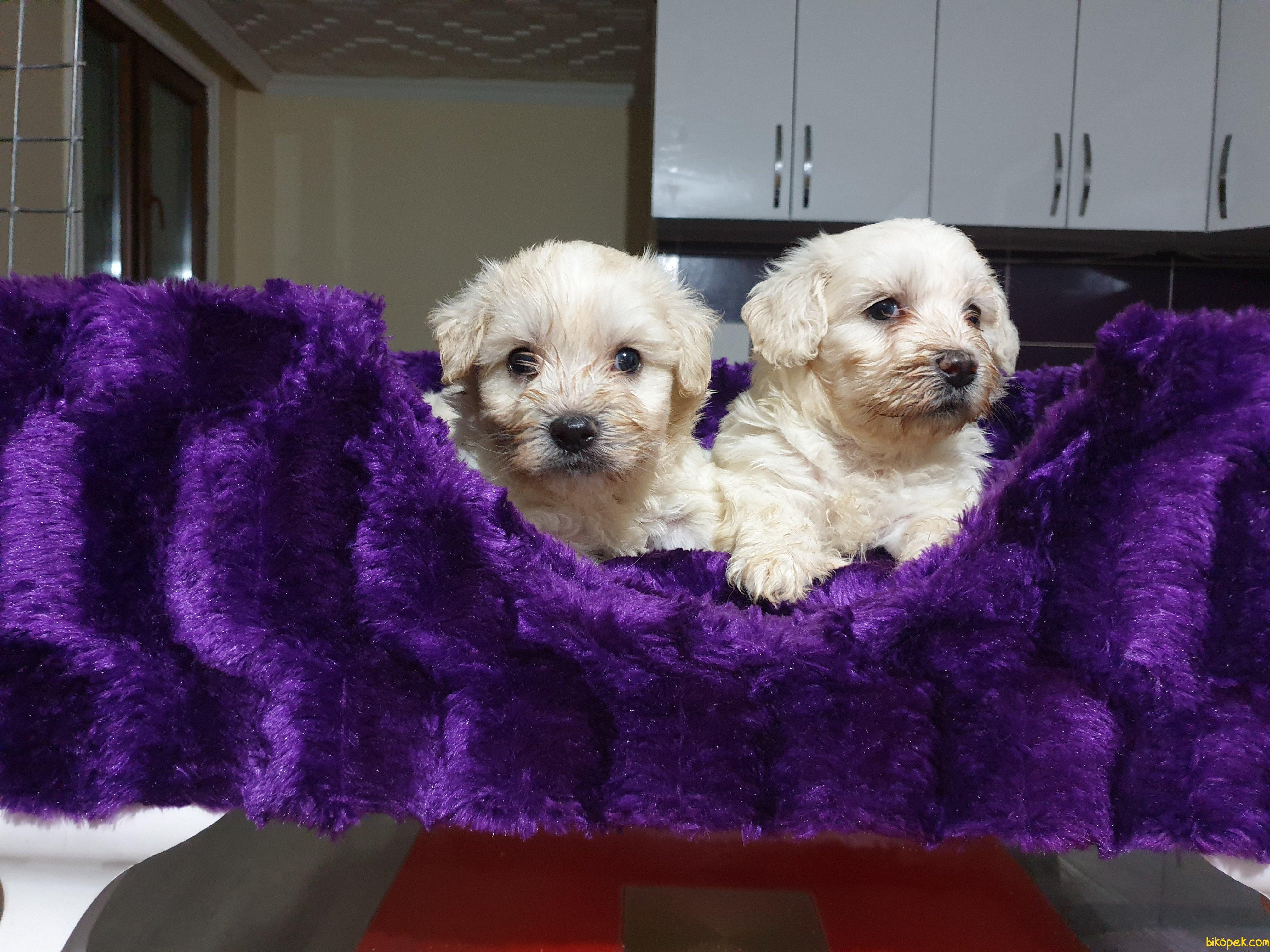 Satılık Maltese Terrier Yavrularımız 3