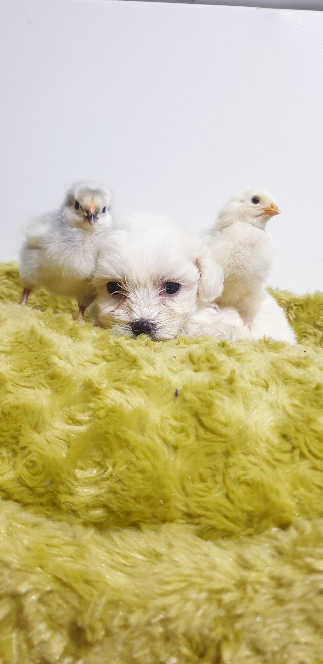 Bembeyaz Maltese Terrier Yavrusu 5