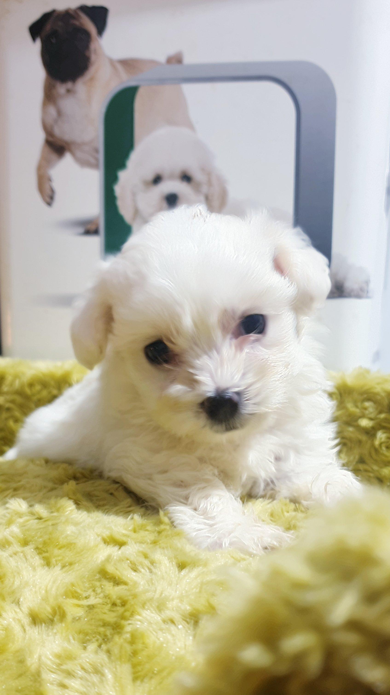 Bembeyaz Maltese Terrier Yavrusu 1