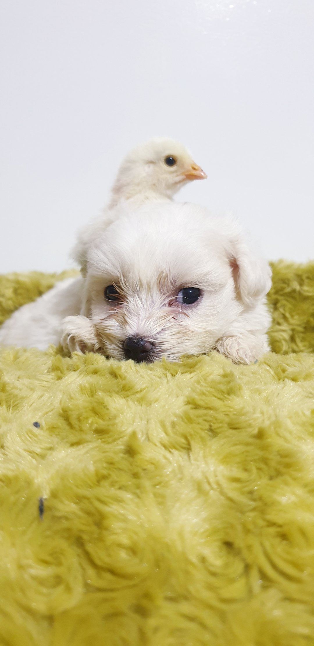 Bembeyaz Maltese Terrier Yavrusu 4