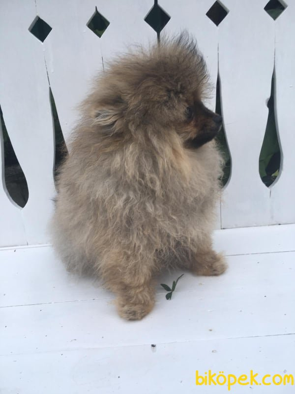 Partycolor Orjinal Pomeranian Yavrular 2