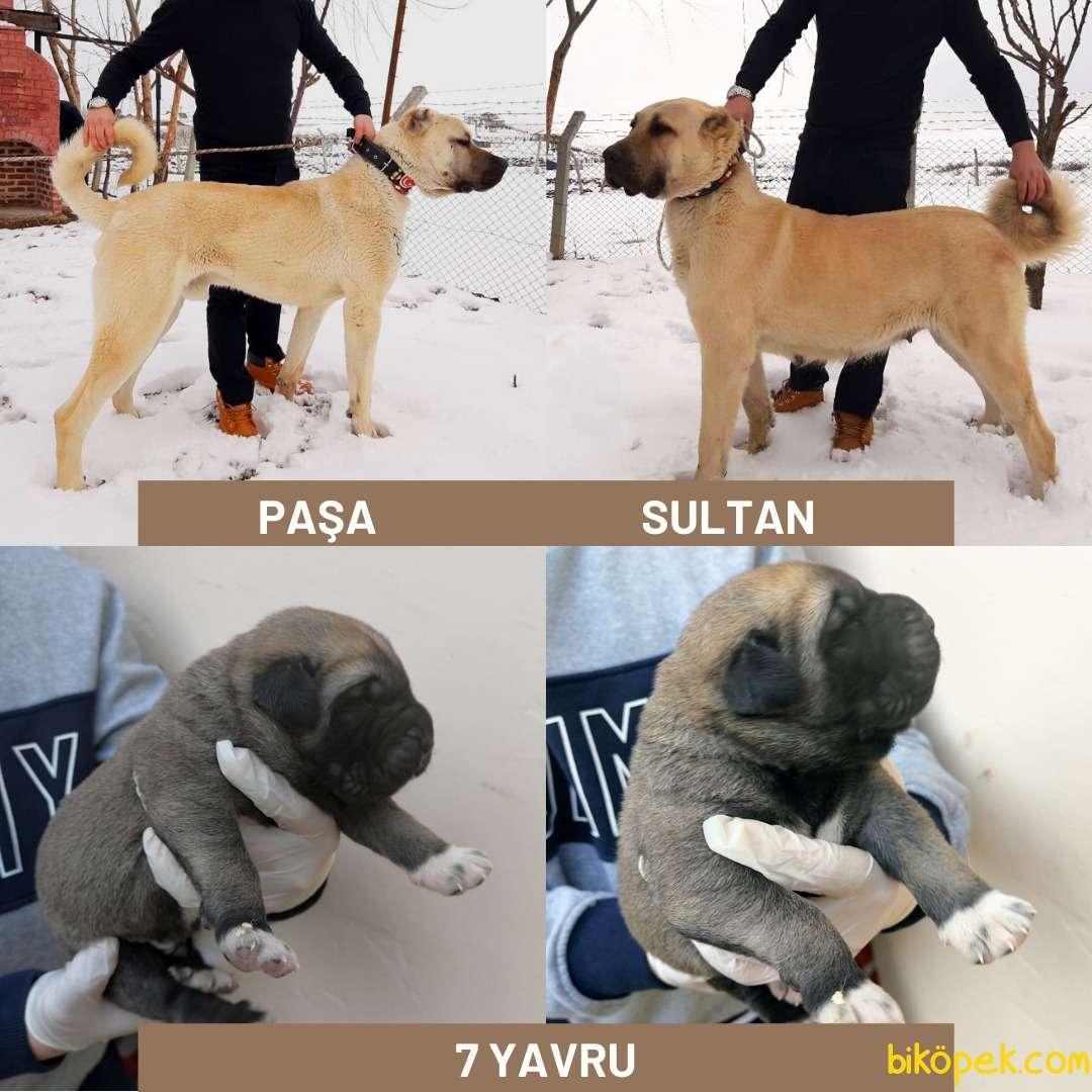PAŞA & SULTAN 4