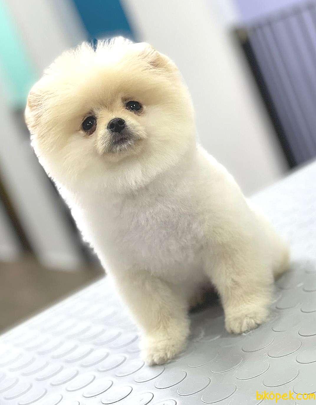 Pomeranian 2