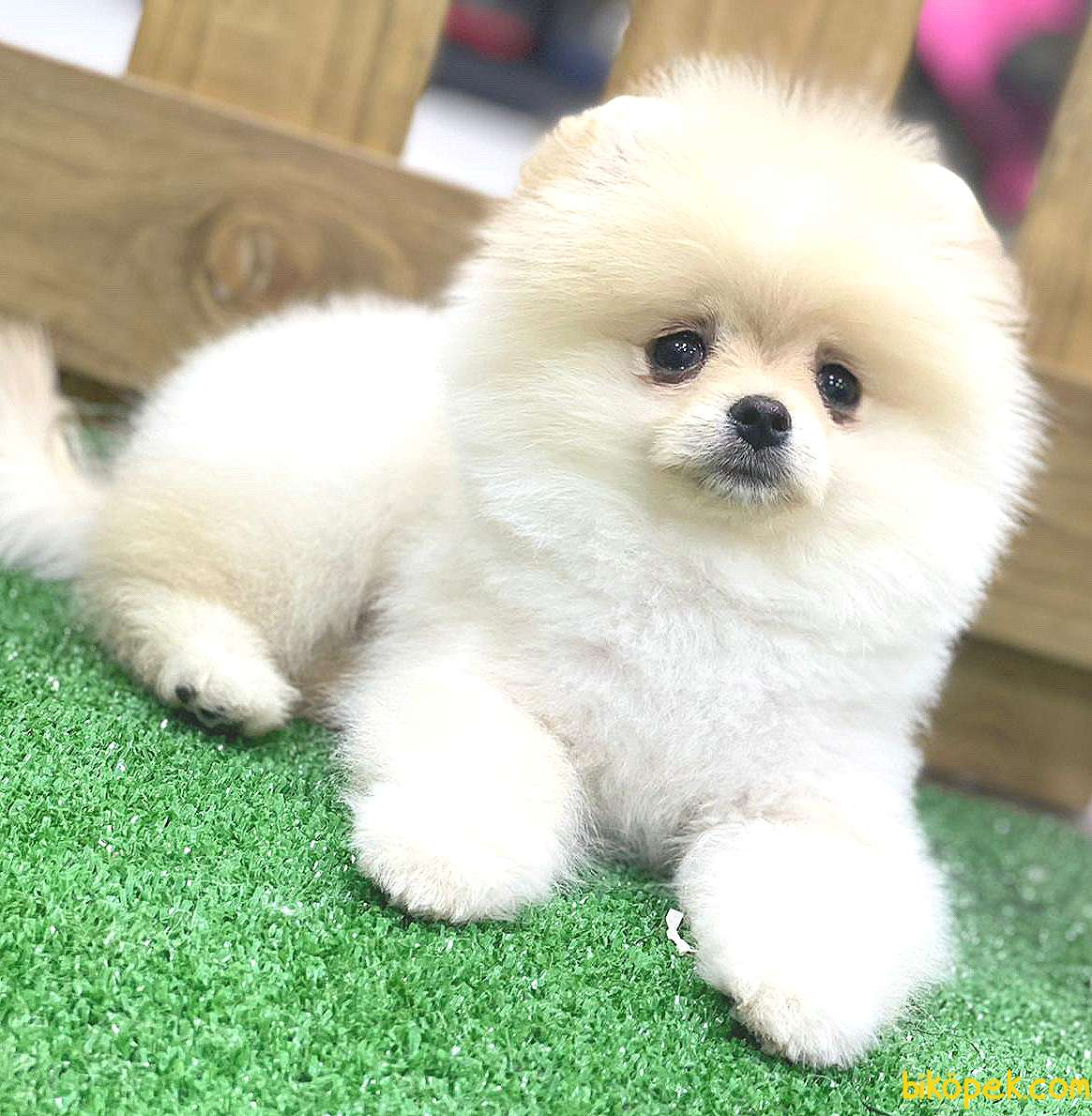 Pomeranian Boo Yavrularımız 2