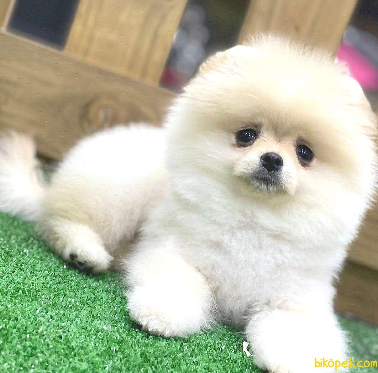 Pomeranian Boo Yavrularımız 1