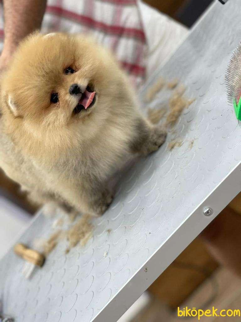 Pomeranian Boo 1