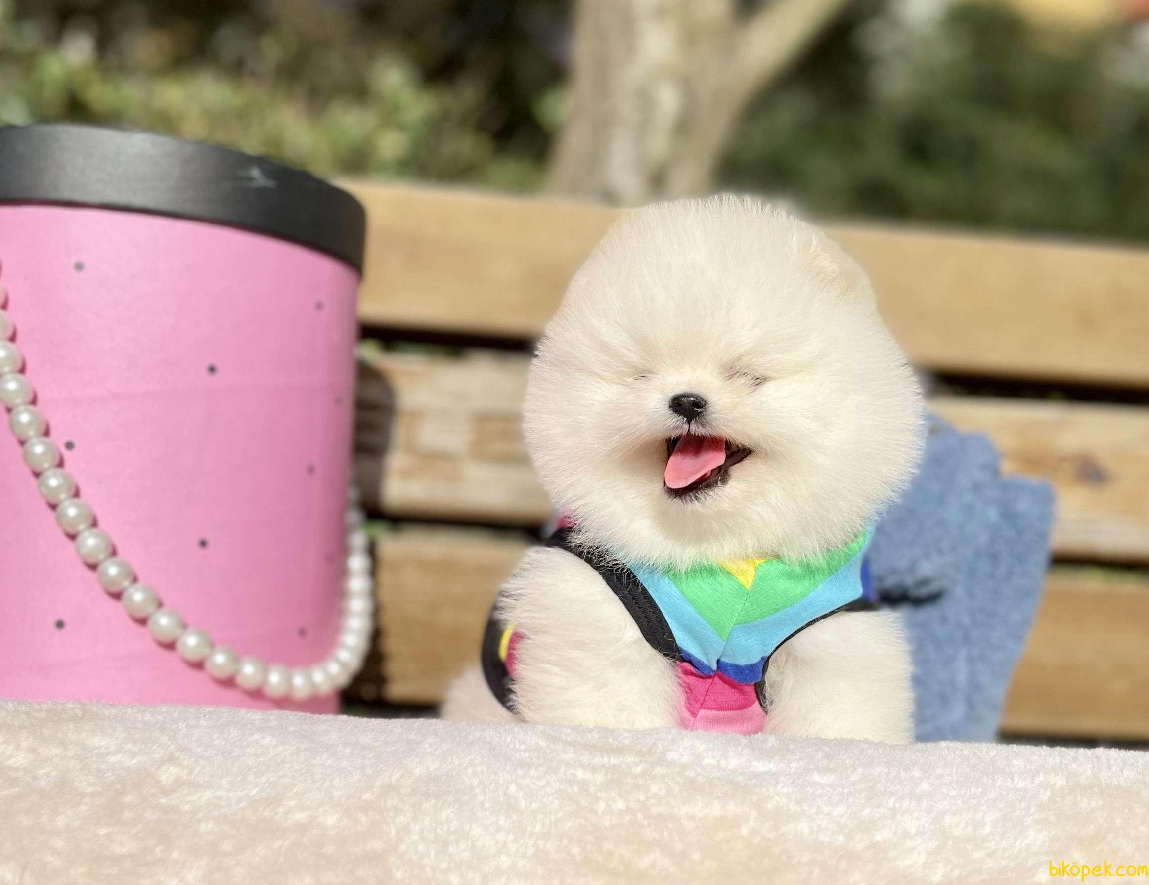 Pomeranian Boo Anne Baba Secereli Yavrularımız 1