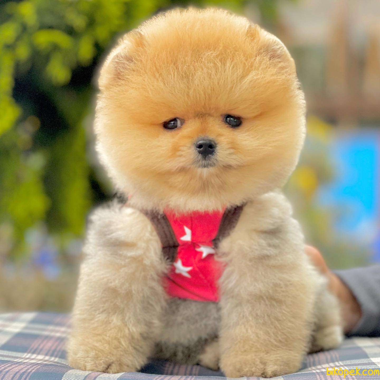 Pomeranian Boo Ayı Surat Garantili Safkan Secereli Yavrularımız 2