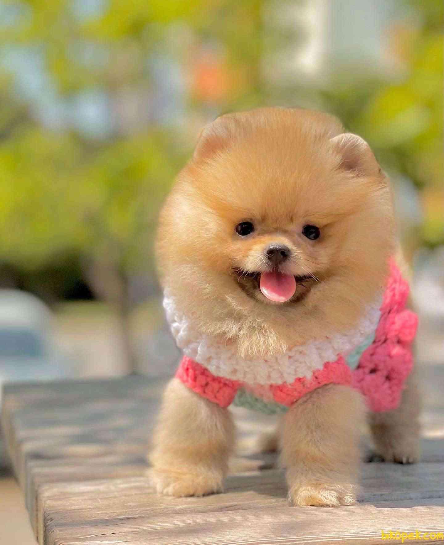 Pomeranian Boo Ayı Surat Teddy Bear Yavrularımız 1