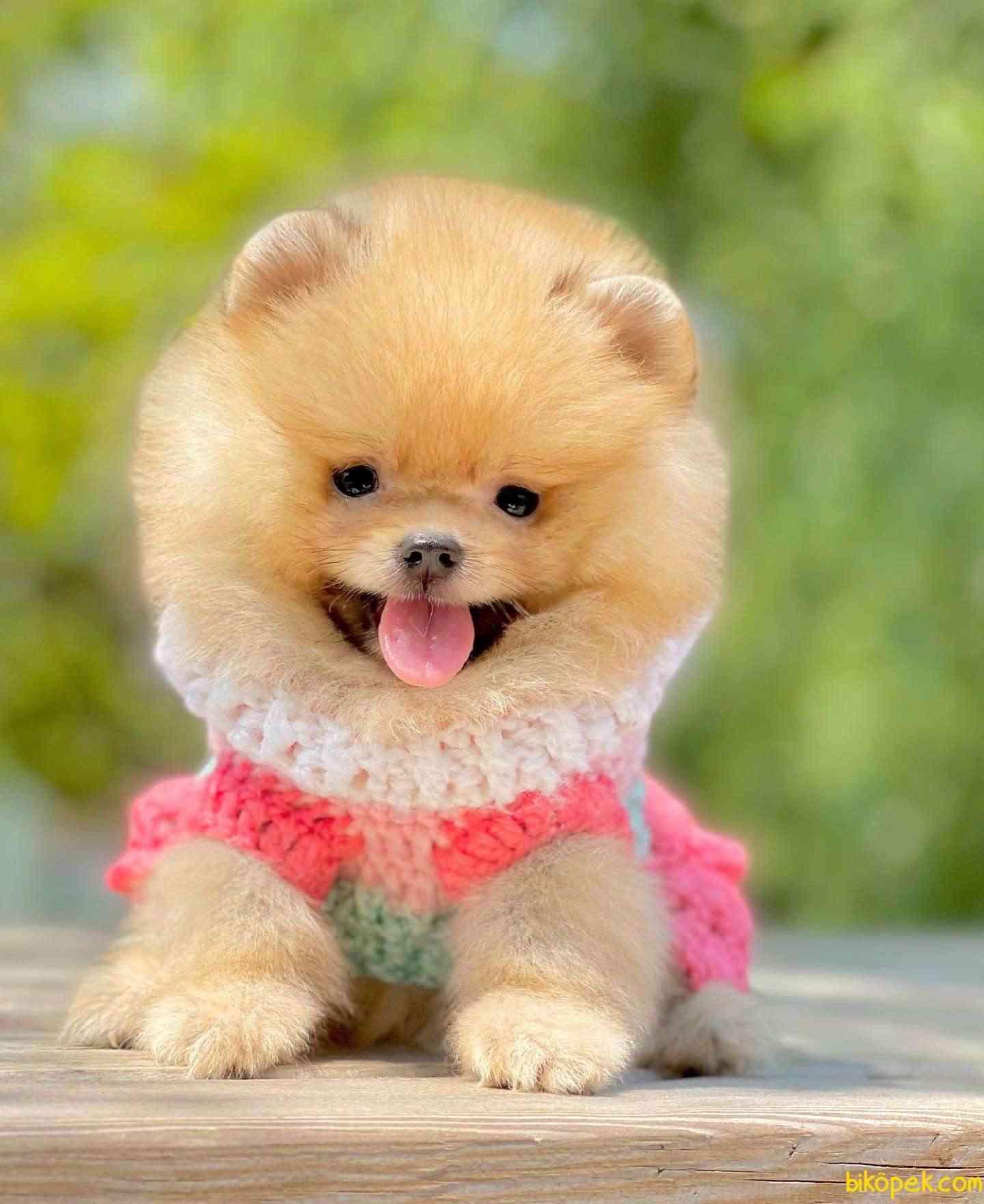 Pomeranian Boo Ayı Surat Teddy Bear Yavrularımız 2